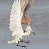 reddish & white morph reddish egrets fighting, south padre tx
