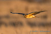 Northern Harrier Hawk, Samish Flats