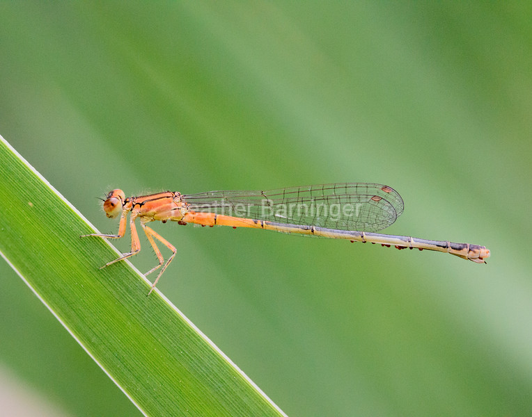 Eastern Forktail Damselfly with Hitchhiking Mites