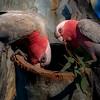 Nesting Galahs