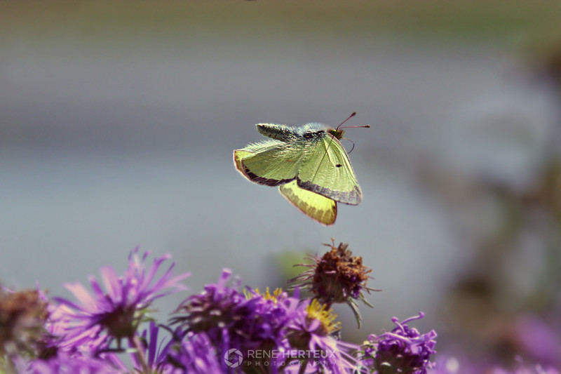 Butterfly in flight, Prior Lake MN