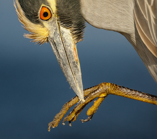 Preening Yellow-crowned Night Heron