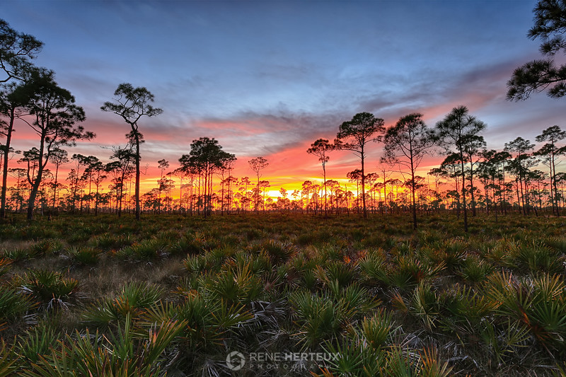 Saw palmetto sunset