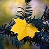 Precarious Leaf