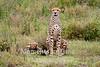 cheetah two cubs one facing forward