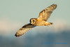 Short-eared Owl, Leque Island