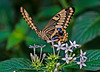 Anise Swallowtail Butterfly; #1323