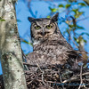 Great Horned Owl, on her nest