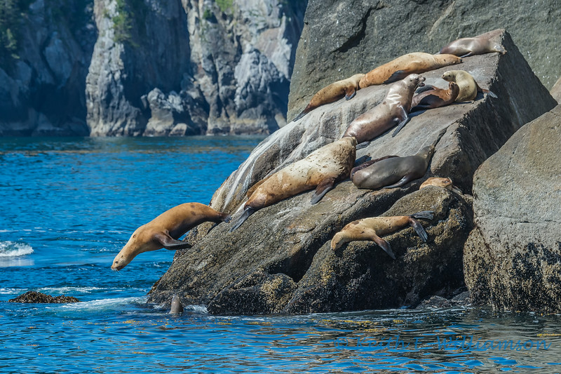 Stellar Sea Lions, Kenai Fjords NP