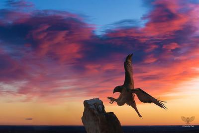 Raptor Sunrise