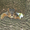 Squirrel in Springfield, IL.