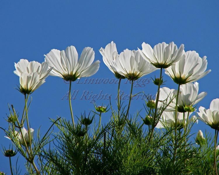 White flowers, Monhegan Island, Maine