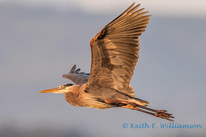 Great Blue Heron, at sunset