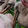Spoonbills 3 Post