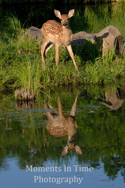 Attentive fawn at dawn