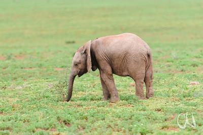 Afrikanischer Elefant, Kalb untersucht einen Busch mit dem Rüssel, Loxodonta africana, Addo Elephant National Park, Südafrika, [en] African elephant calf, South Africa