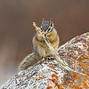 Chipmunk, Yellowstone National Park, Wyoming
