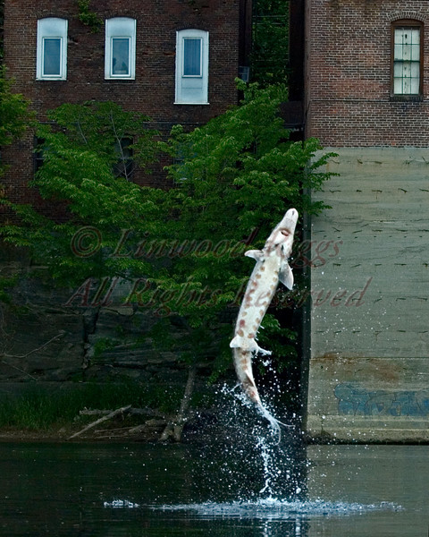A sturgeon leaps from the Kennebec River near the former Colonial Theater in Augusta, Maine