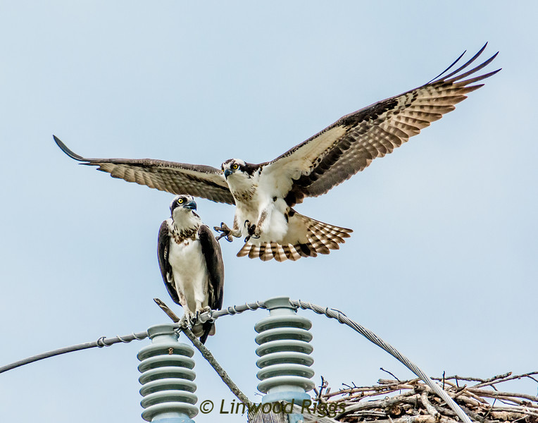 Ospreys mating -- an electrifying encounter!  Note that the male's claws are retracted as it approaches its mate.