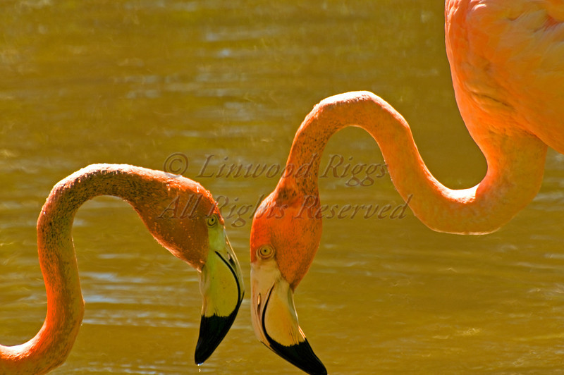 Eyeball-to-eyeball flamingoes.