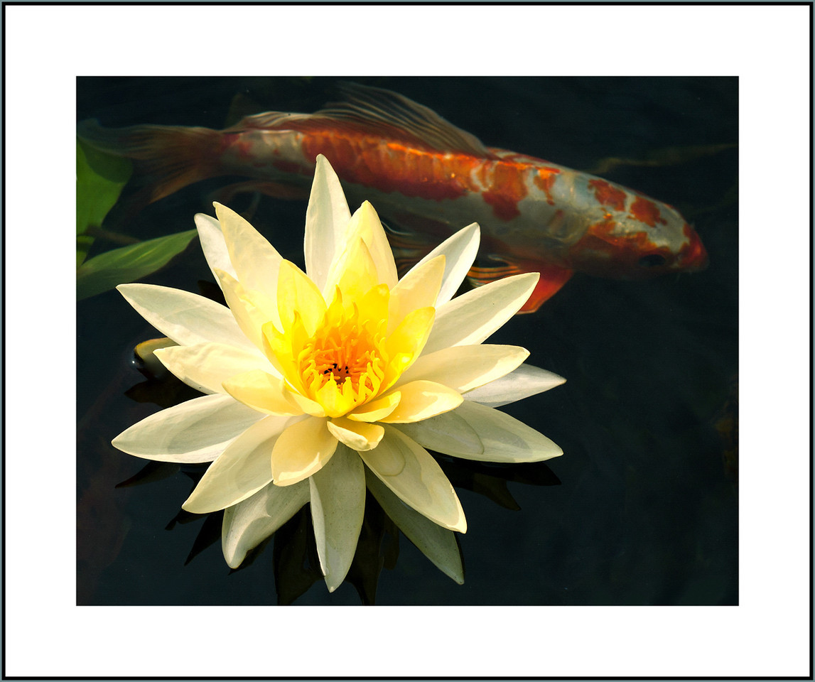 Pond Lilly and Carp, Shippensburg, PA 2012