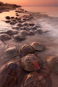 The mass spawning of Atlantic horseshoe crabs (Limulus polyphemus) is one of the greatest spectacles of the natural world. Each year hundreds of thousands of these animals come ashore along the East Coast of the US to lay billions of eggs in the sand. This behavior helps avoid predation on eggs by fish, but exposes them to birds. I took this photo on a beach of the Delaware Bay.