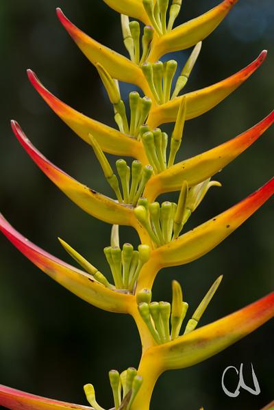 Heliconia Costa Rica