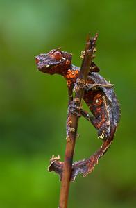 Satanic gecko (Uroplatus phantasticus) from Madagascar.