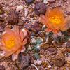 Pediocactus winkleri in bloom, Winkler's pincushion cactus, Molen Reef, Utah