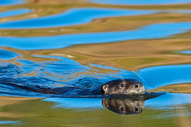 Otter swimming, Yellowstone National Park, Wyoming