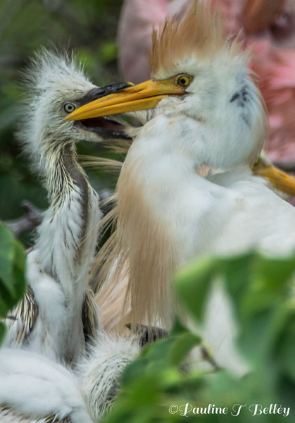 DSC_0935 Egret