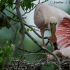 Spoonbills 1 Post