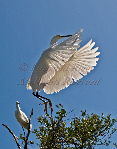 Two Snowy Egrets in the Florida Keys.