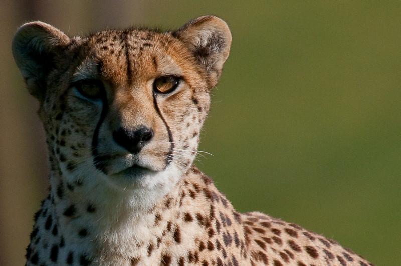 Wild Animal Park Cheetah
