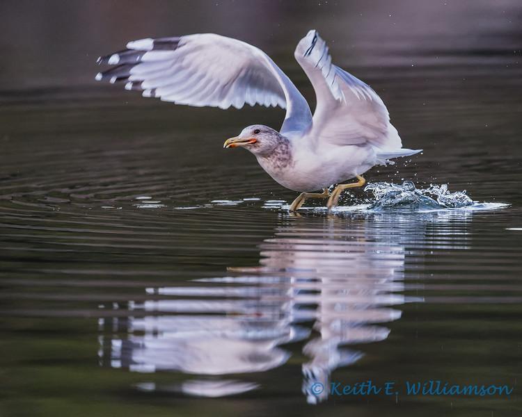 Gull take-off 2, Cranberry Lake