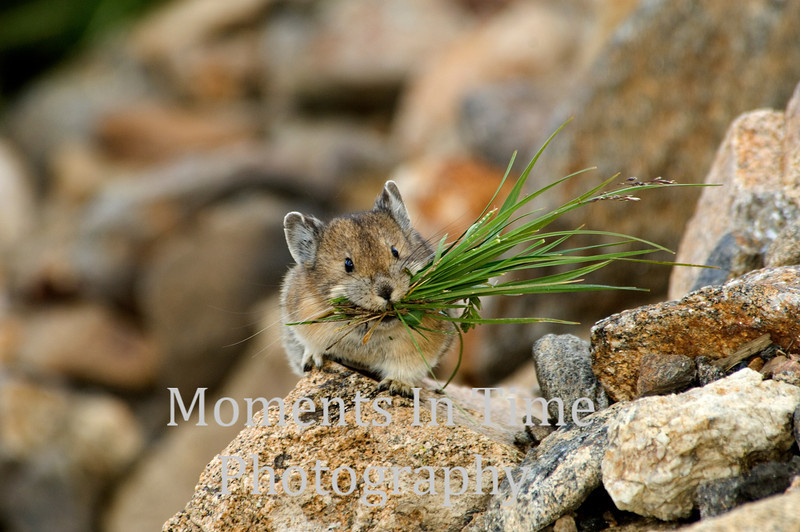 Pika collecting grass