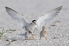 Least tern and chicks