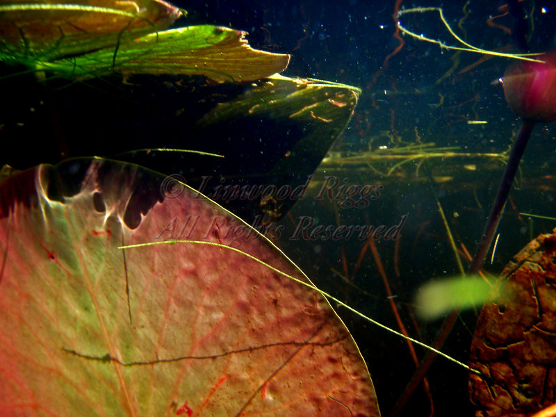 Underwater view - Lower Togus Pond,Maine