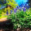 Blue Bonnets on the trail