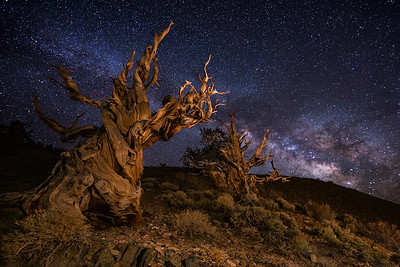 Ancient Bristlecones and Milky Way, Schulman Grove, White Mountains, CA