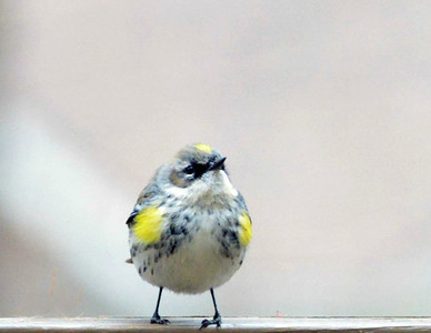 Yellow-rumped Warbler on the deck, shot through a window, Raleigh, NC, March 2013.