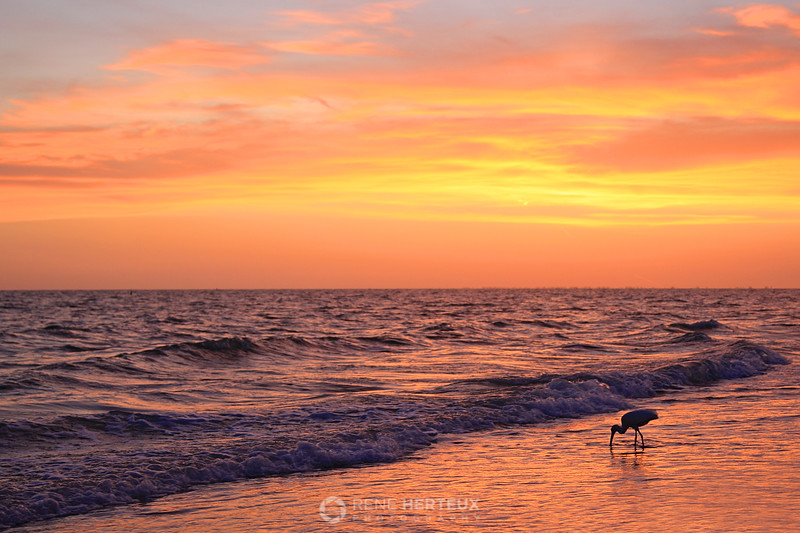 Ibis in sunset surf