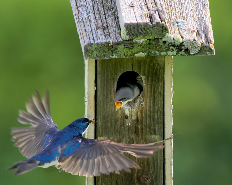 Tiny tree swallows at the feeding station for their chicks  at Grass Lake, in Shoreview, Mn. #0701