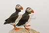 Dancin' Puffins on Machias Seal Island, Maine