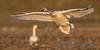 Trumpeter Swan - 23