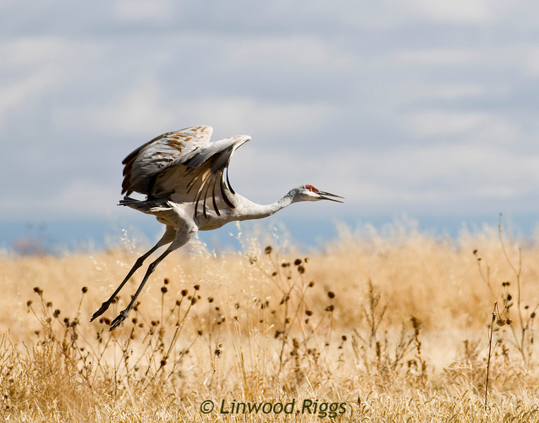 Sandhill Cranes at Monte Vista NWR, CO