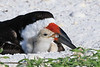 Black skimmer with chick