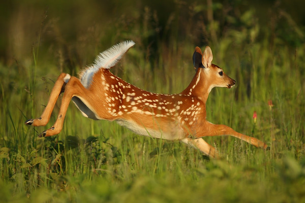 The Warning Flag, Leaping Whitetail Fawn, Shenandoah NP