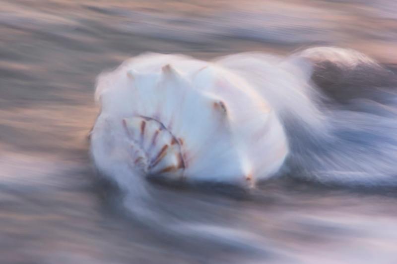 Whelk in the tide
