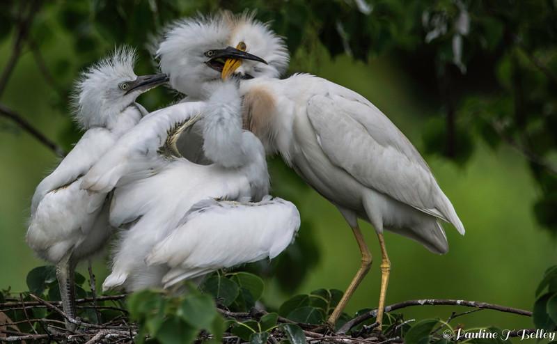 DSC_0014 Egrets